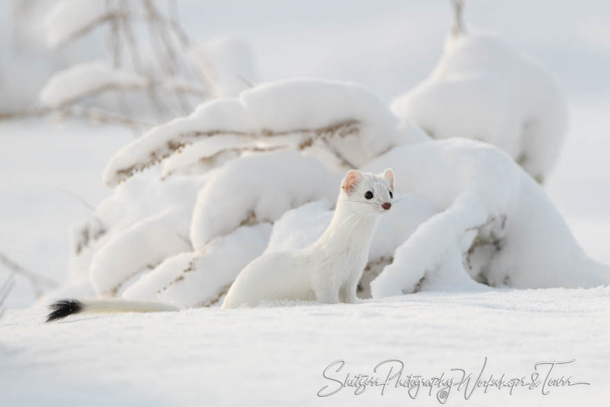 Can you spot the Ermine?