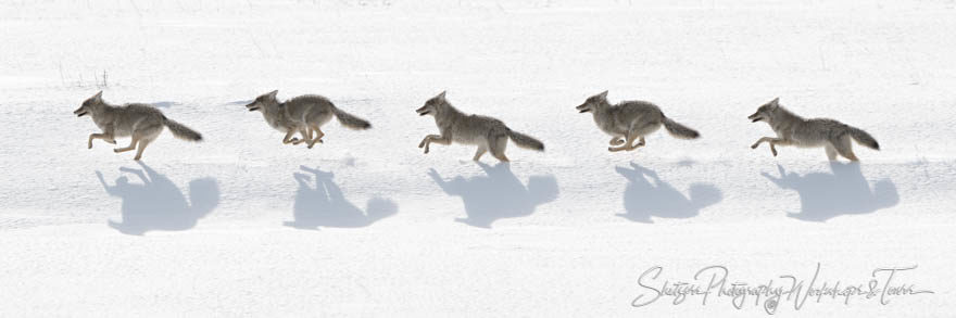 Coyote Running Sequence from Yellowstone