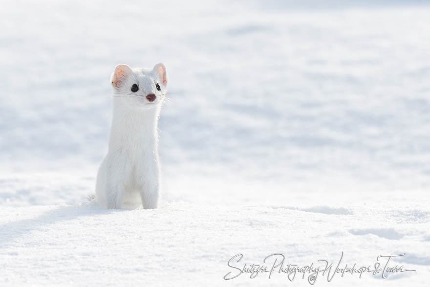 Ermine – Stoat in a Winter Coat - Shetzers Photography