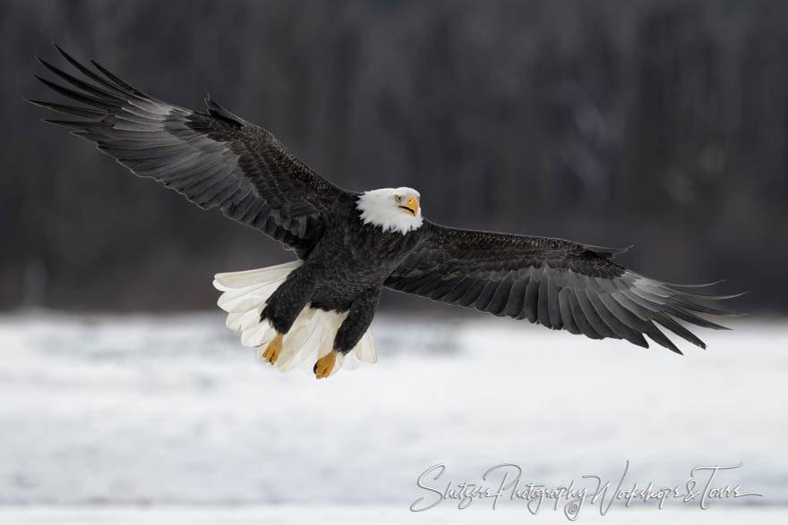 A bald eagle flies effortlessly in Alaska