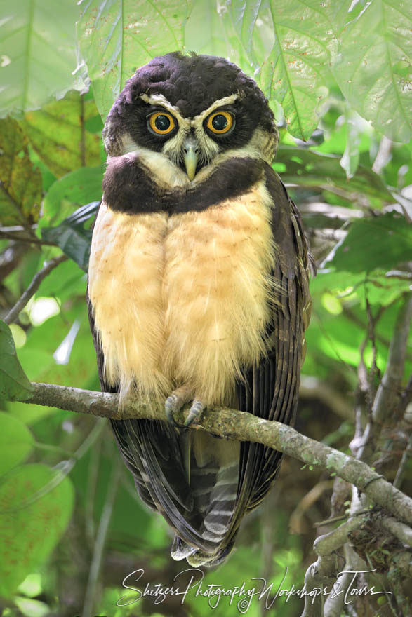 A spectacled owl gazes into the camera