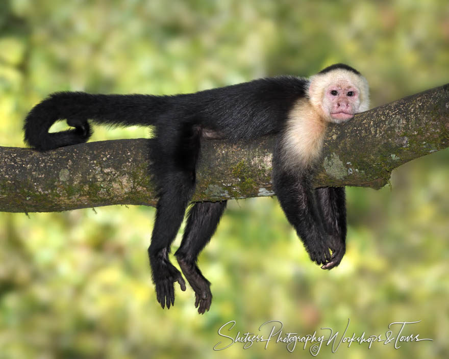White-faced capuchin relaxing