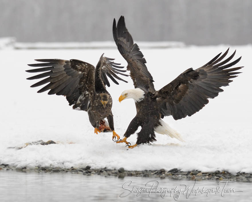 Adult and Juvenile Bald Eagles fight