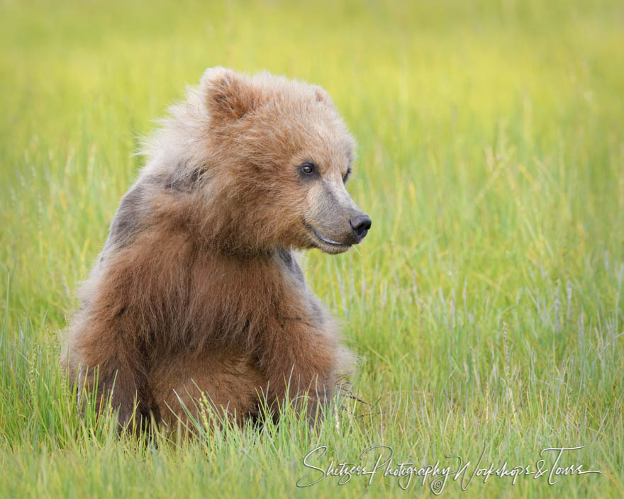 Brown Bear in an Alaskan Meadow