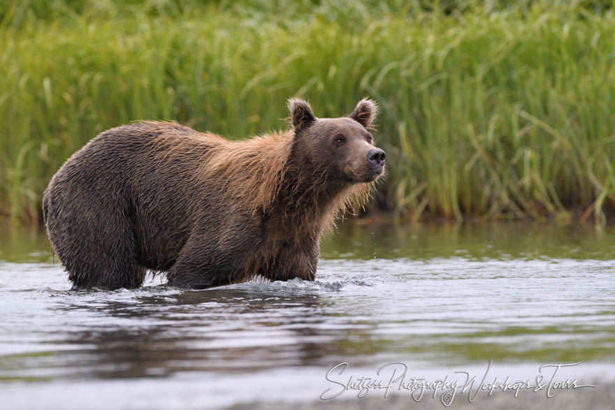 Grizzly Bear in Knee-Deep Water