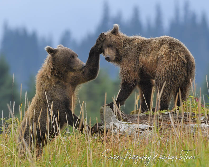 Grizzly Bears Touching