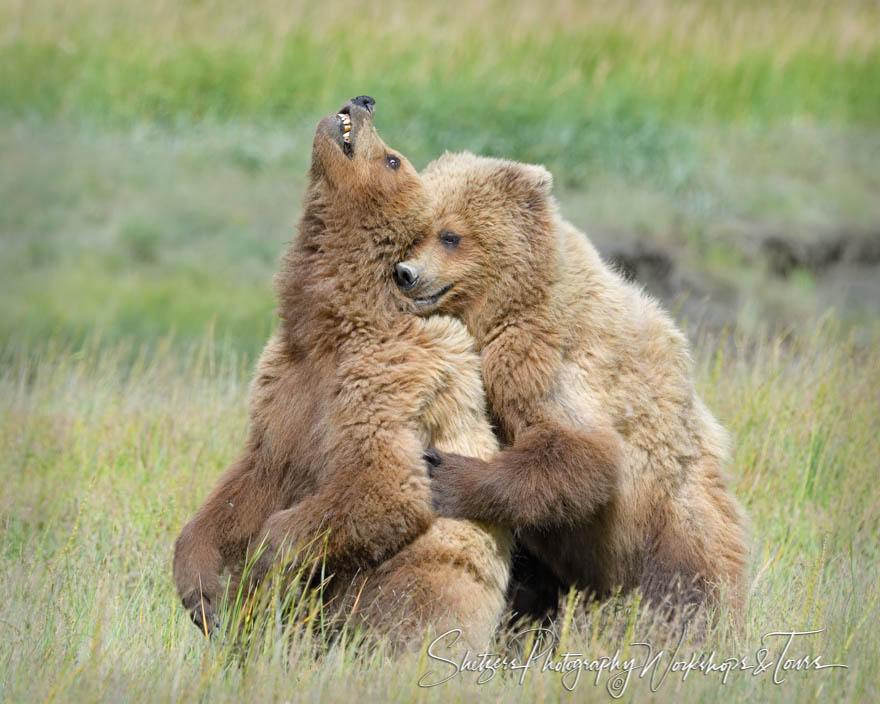 One Grizzly Bear hugs another in an open grassland