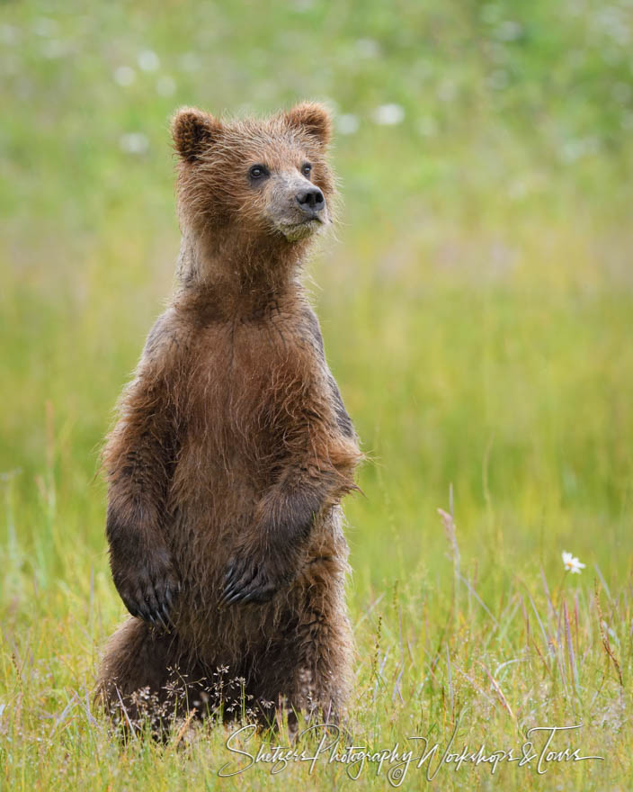 Young Brown Bear Standing