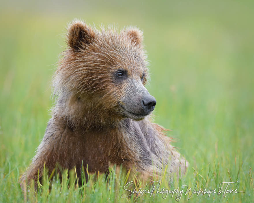Young Grizzly Bear at Lake Clark