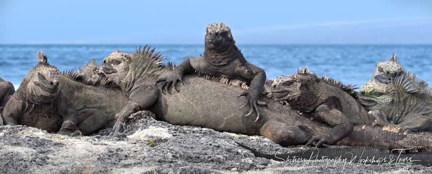 Lots of marine iguanas warming themselves on the lava rock