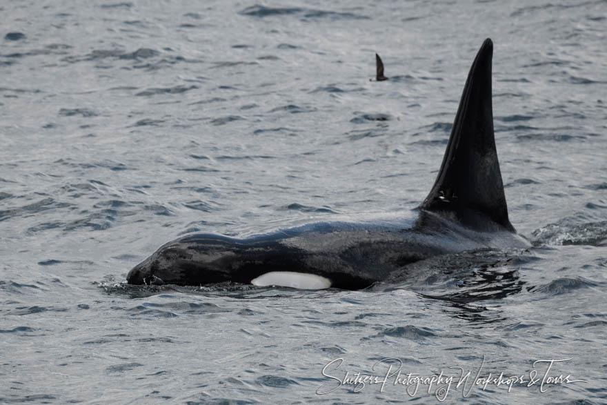 Galapagos Islands Killer Whale
