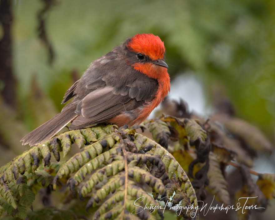 Galapagos Vermillion Flycatcher Looking at Camera