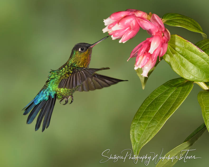 Fiery Throated Hummingbird Photo