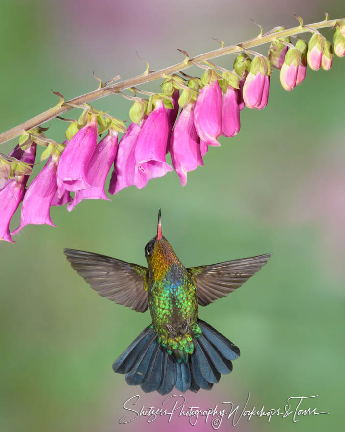 Fiery Throated Hummingbird Up Close