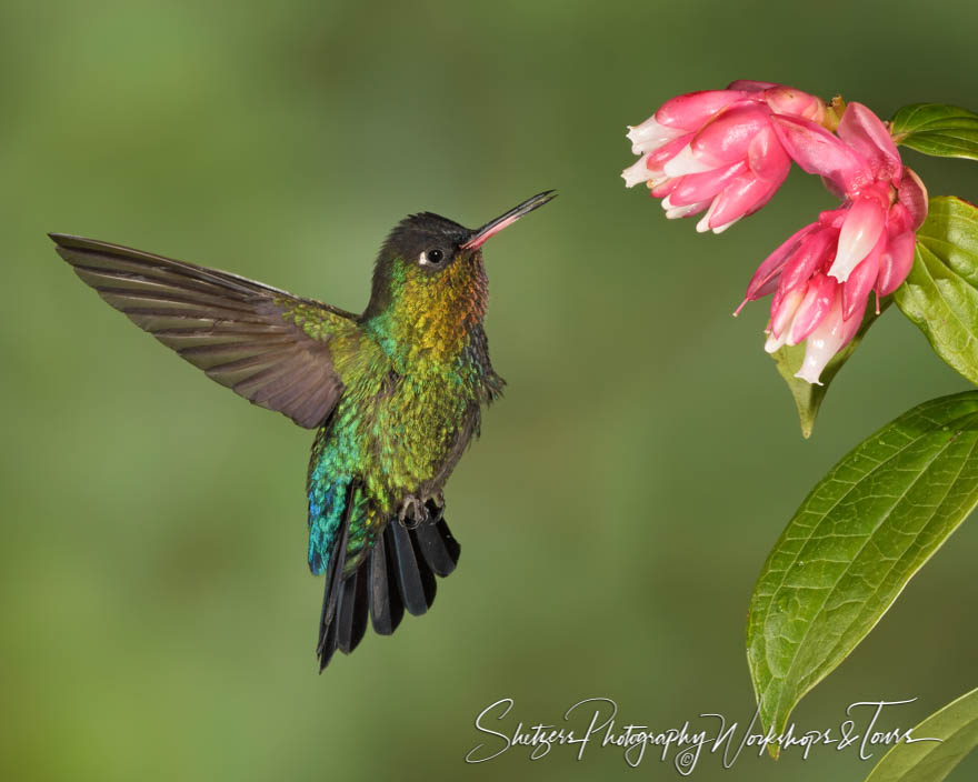 Flying Fiery Throated Hummingbird