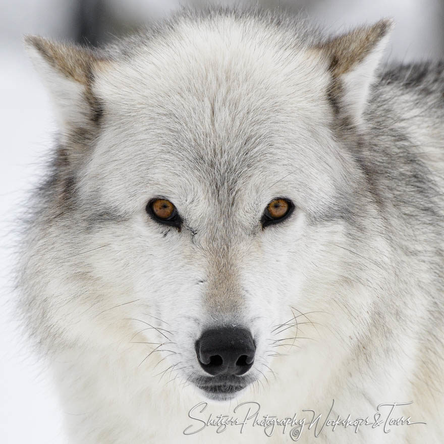 Gray Wolf Close Up
