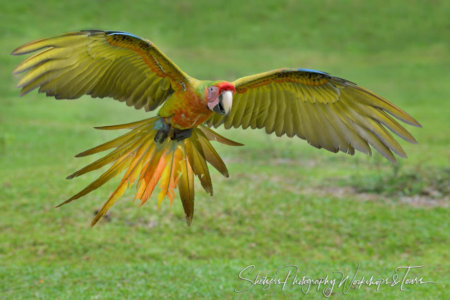 Great Green Macaw With Wings Spread