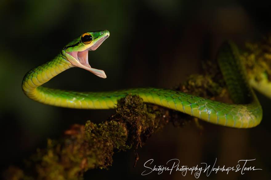Green Parrot Snake Photograph