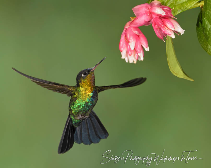 Photograph of a Fiery Throated Hummingbird