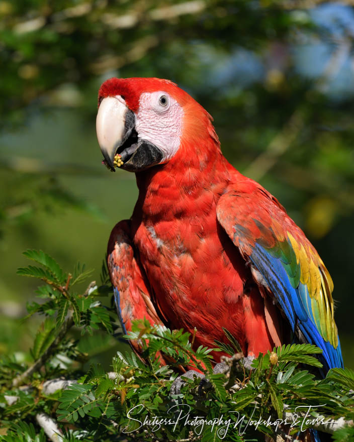 Scarlet Macaw Parrot in Costa Rica