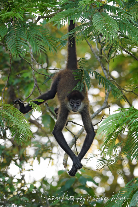 Spider Monkey Hanging From Tree