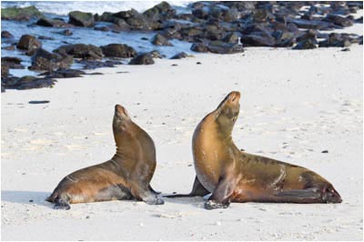 Two Sea Lions Raising Heads
