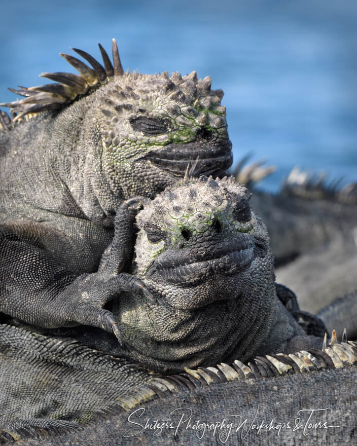 Adorable Marine Iguanas