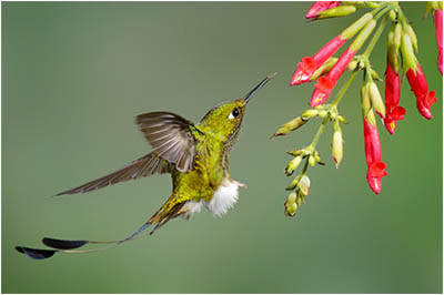 Booted Racket Tail Hummingbird Close Up